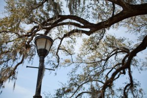 New leaves and Spanish moss adorn a live oak in City Park